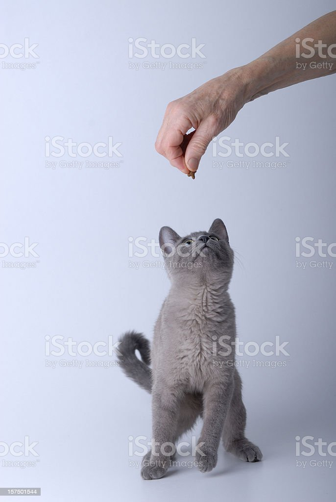 Silver Baby Kitten Eating on Grey Background royalty-free stock photo