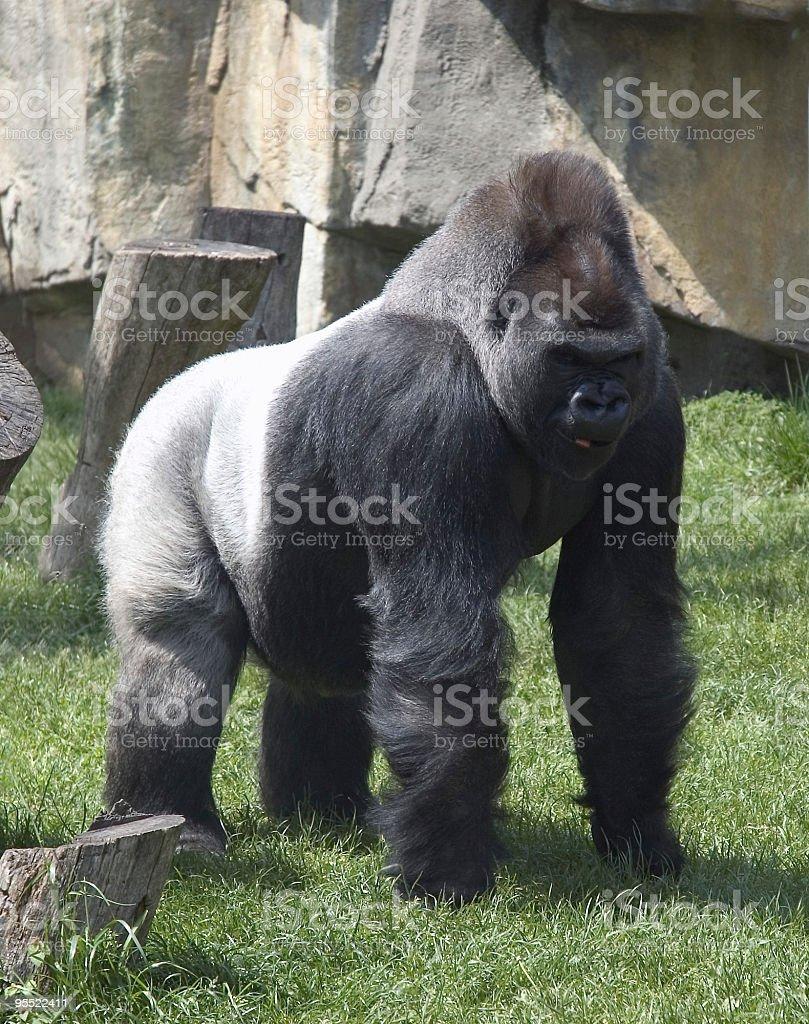 Silver Back Gorilla royalty-free stock photo