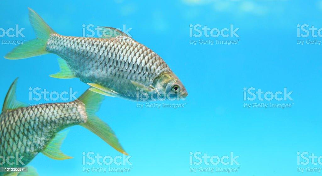 Silver barb swimming in aquarium. stock photo