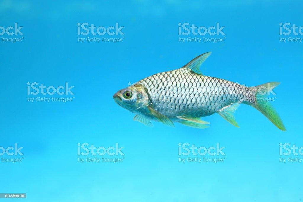 Silver barb swimming in water - fish in aquarium. stock photo