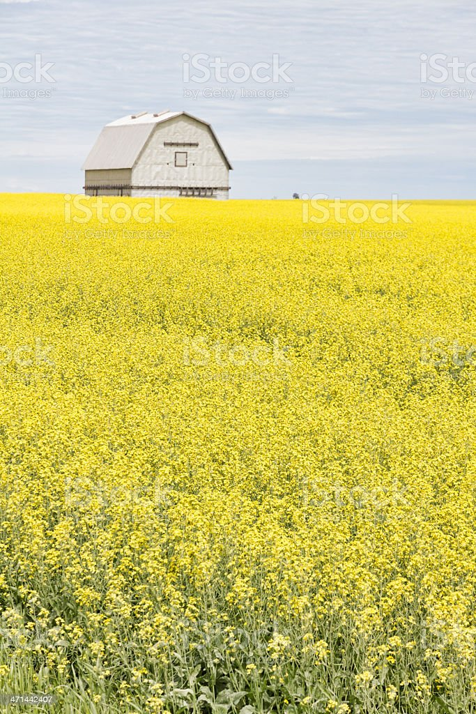 Silver Barn in Yellow Canola Field royalty-free stock photo