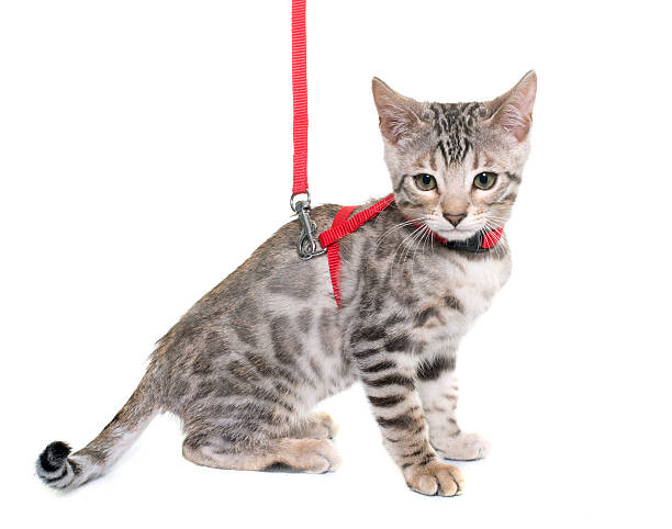 silver bengal kitten and harness - cat leash stock photos and pictures