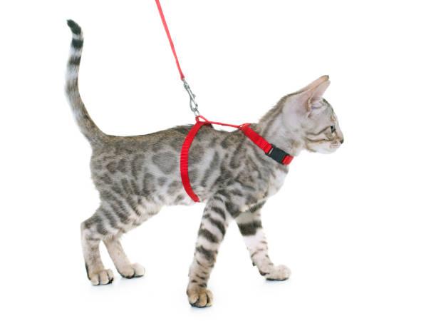 silber bengal kätzchen und geschirr - katzengeschirr stock-fotos und bilder