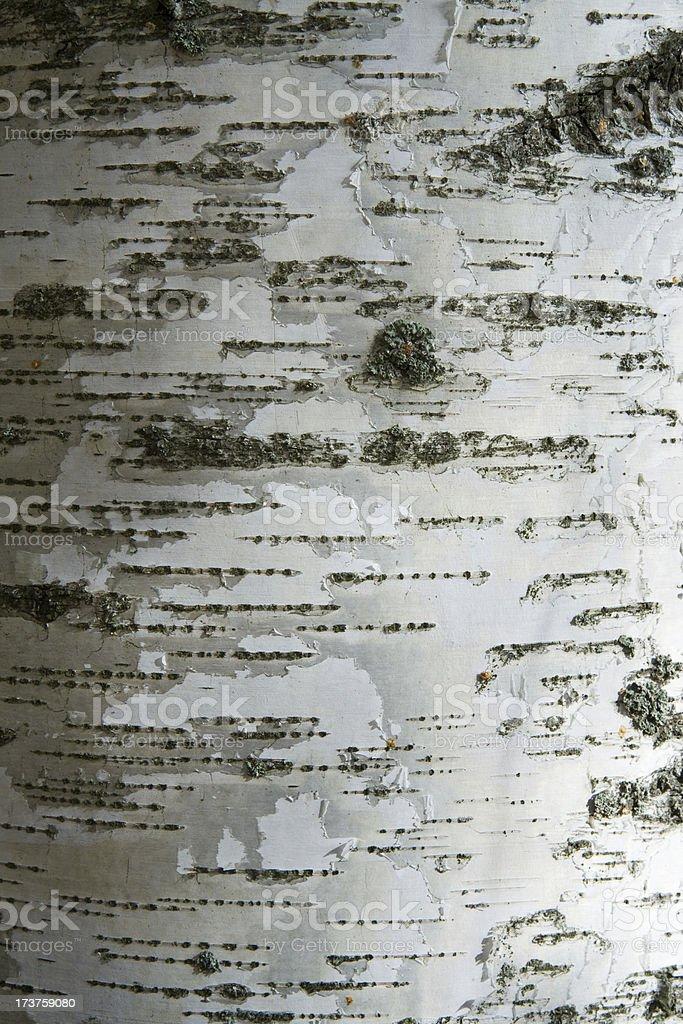 Silver birch bark royalty-free stock photo