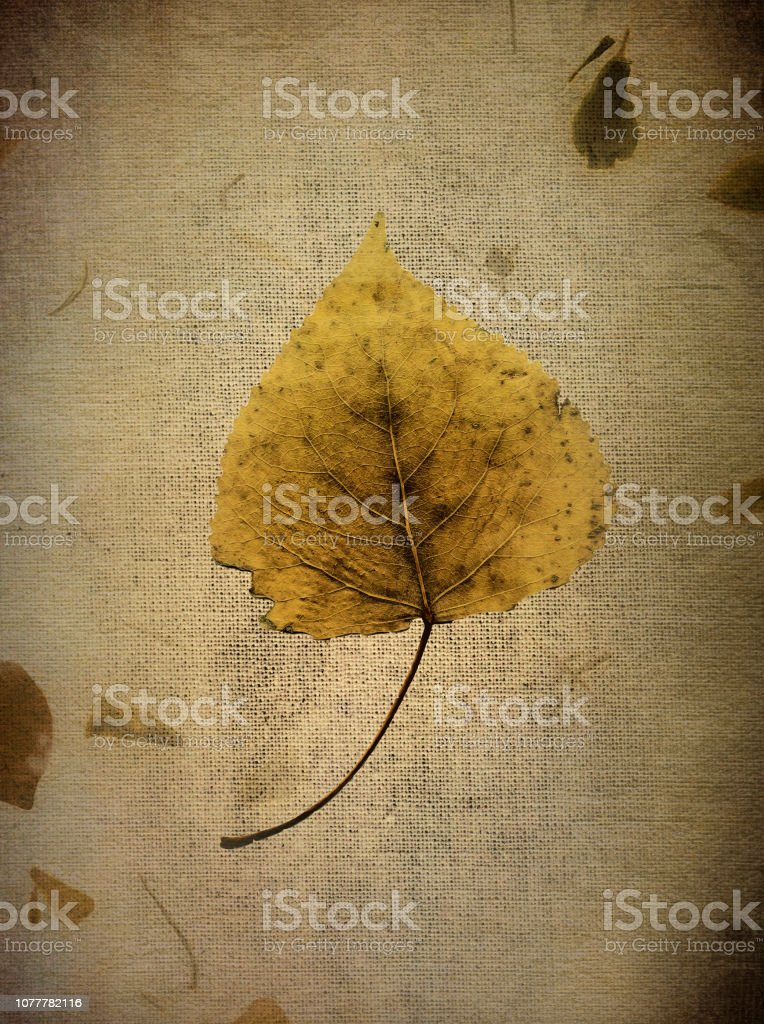 Silver Birch Leaf in Autumn stock photo