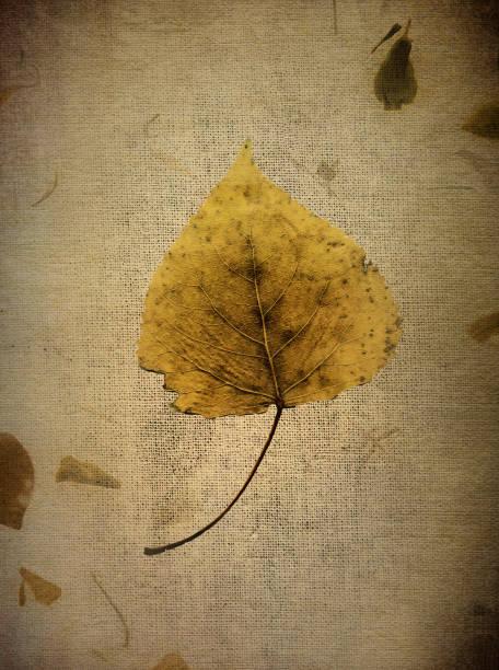 Silver Birch Leaf in Autumn stock photo