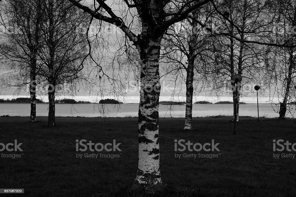 Silver birch stock photo