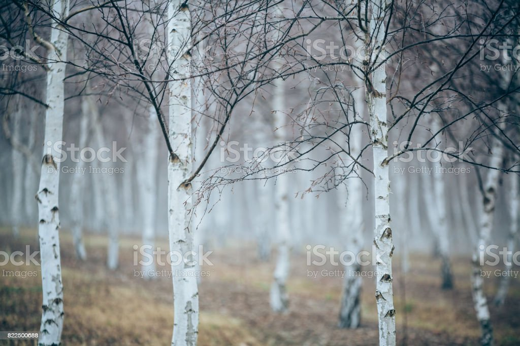 Silver Birch stock photo