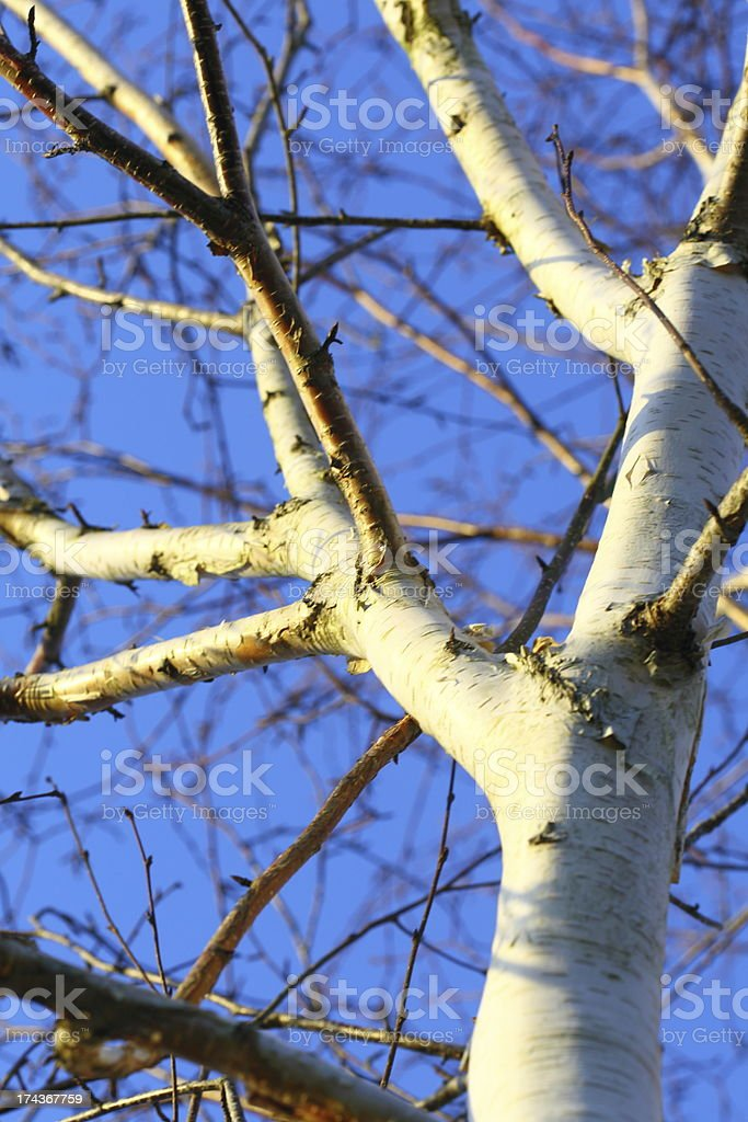 silver birch tree against blue sky royalty-free stock photo
