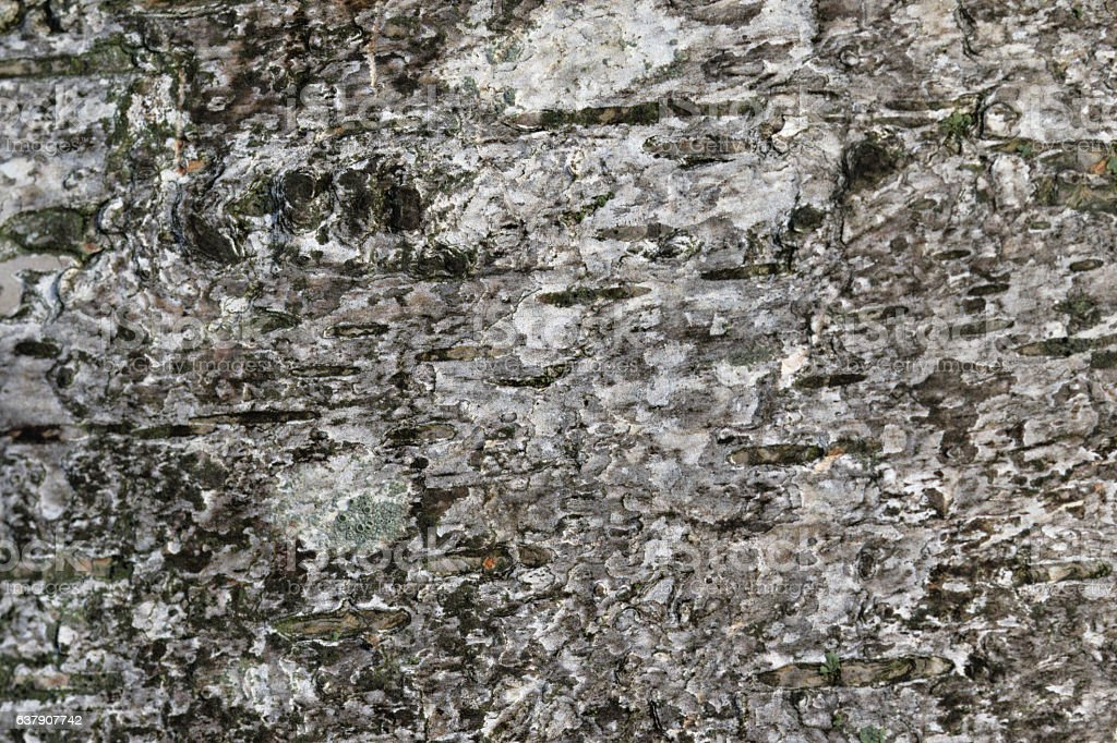 Silver birch tree trunk background texture stock photo