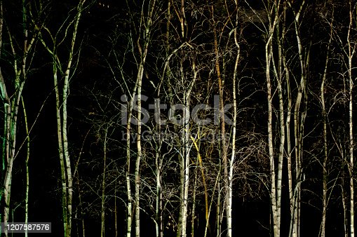 A line of Silver Birch trees at night