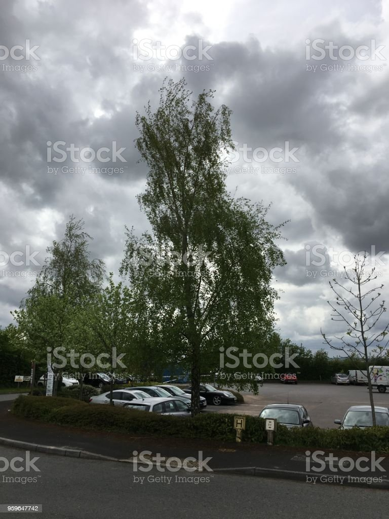 Silver birch trees in the wind - May 2018 stock photo