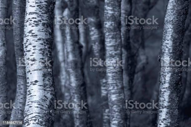 Photo of Silver birch trees monochromatic image.