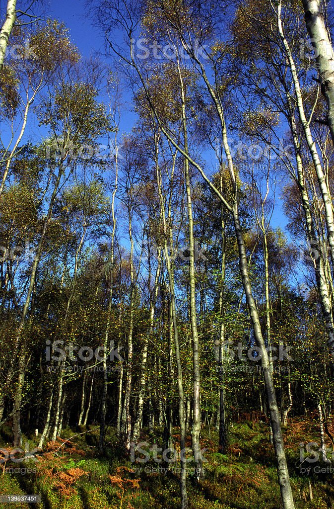 Silver Birch Trees stock photo