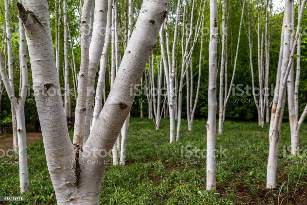Silver birch trees stock photo
