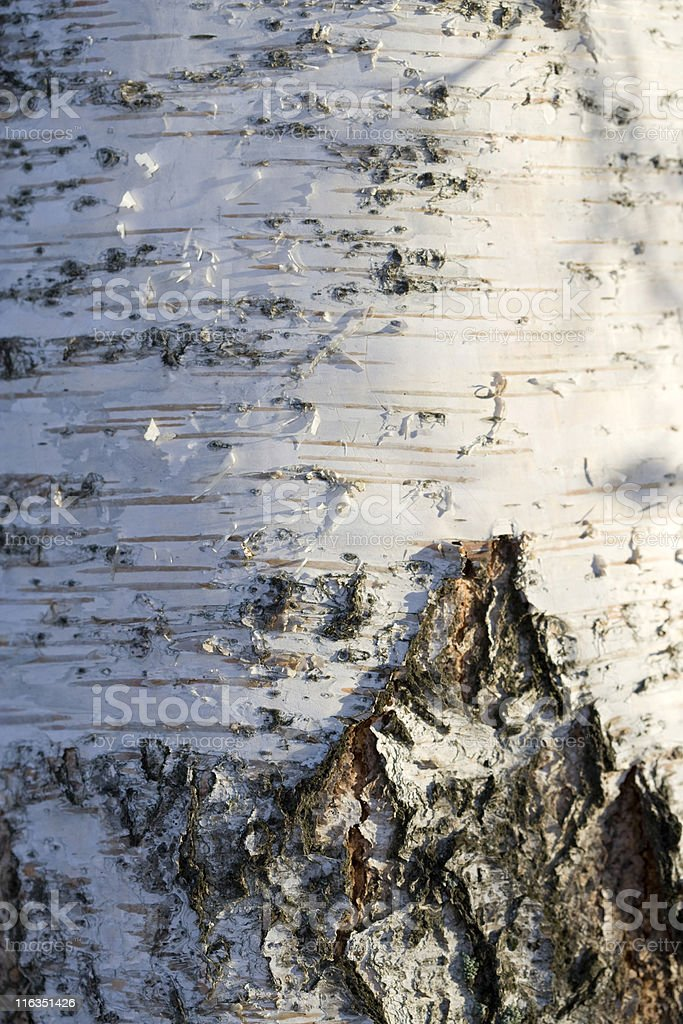 Silver birch trunk stock photo