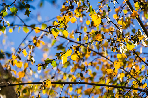 Silver Birches (Betula pendula) colorful autumn leaves on a sky background, California
