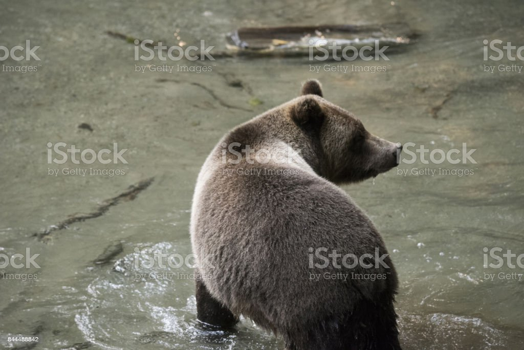 Silver brown grizzly bear stock photo