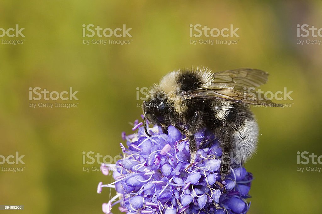 silver bumblebee royalty-free stock photo