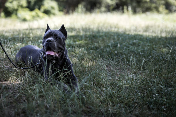 Silver Cane Corso dog lying down on grass Silver Cane Corso dog lying down on grass cane corso stock pictures, royalty-free photos & images