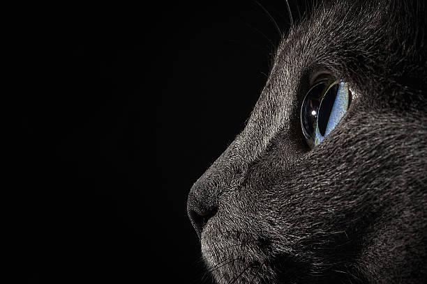 Silver cat picture id635890942?b=1&k=6&m=635890942&s=612x612&w=0&h=e wqbkwo1xoa9qrfflrbptweksewac9r 0cr2muqfl4=