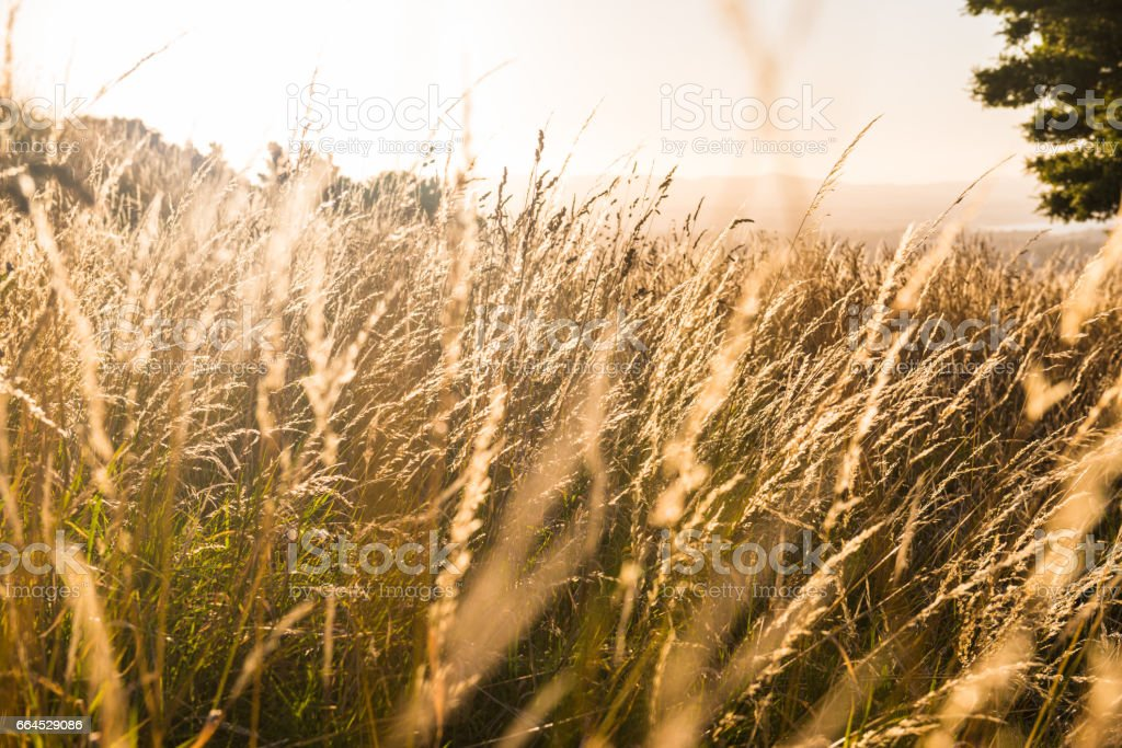 Silver feather grass swaying in wind at sunset stock photo