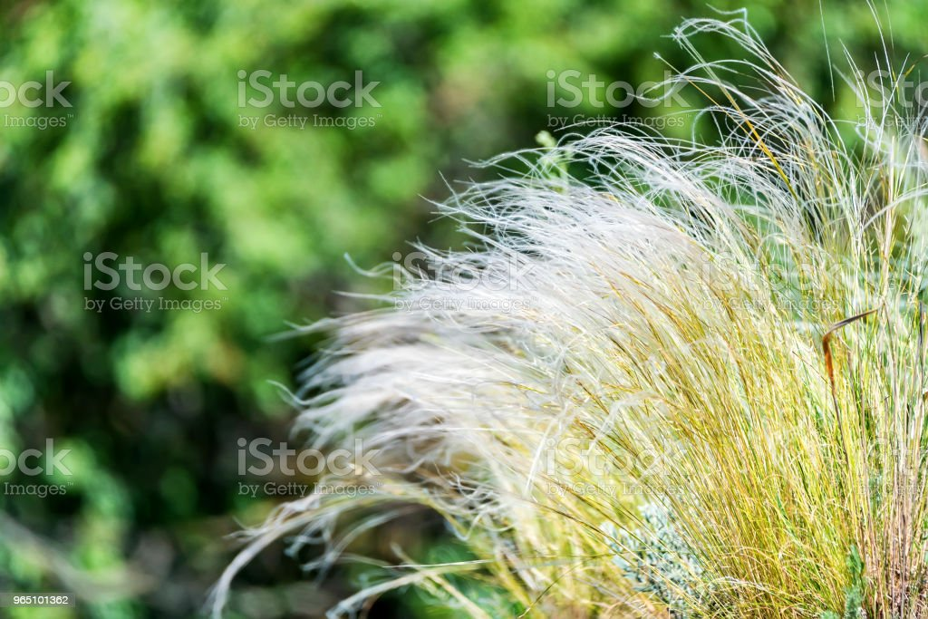 Silver feather grass swaying in wind in steppe zbiór zdjęć royalty-free
