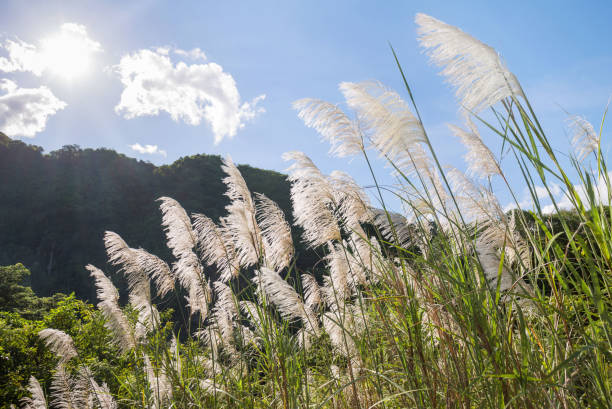 silver feather plant,  flowering asia grass plant miscanthus sinensis in sunshine sunbeams - miscanthus sinensis foto e immagini stock