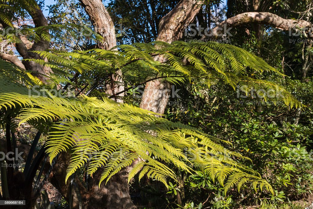 silver fern growing in rainforest in New Zealand stock photo