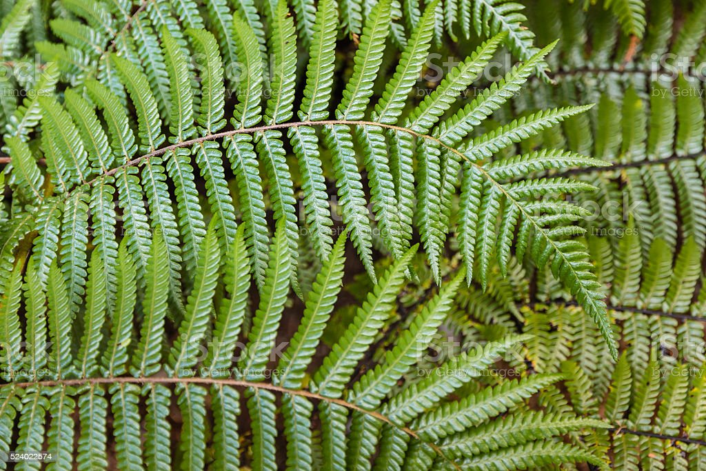 silver fern leaves stock photo