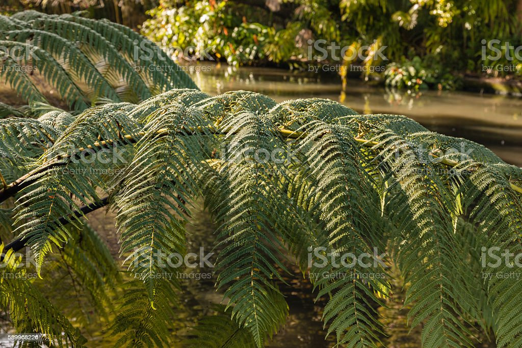 silver fern leaves with river in background stock photo