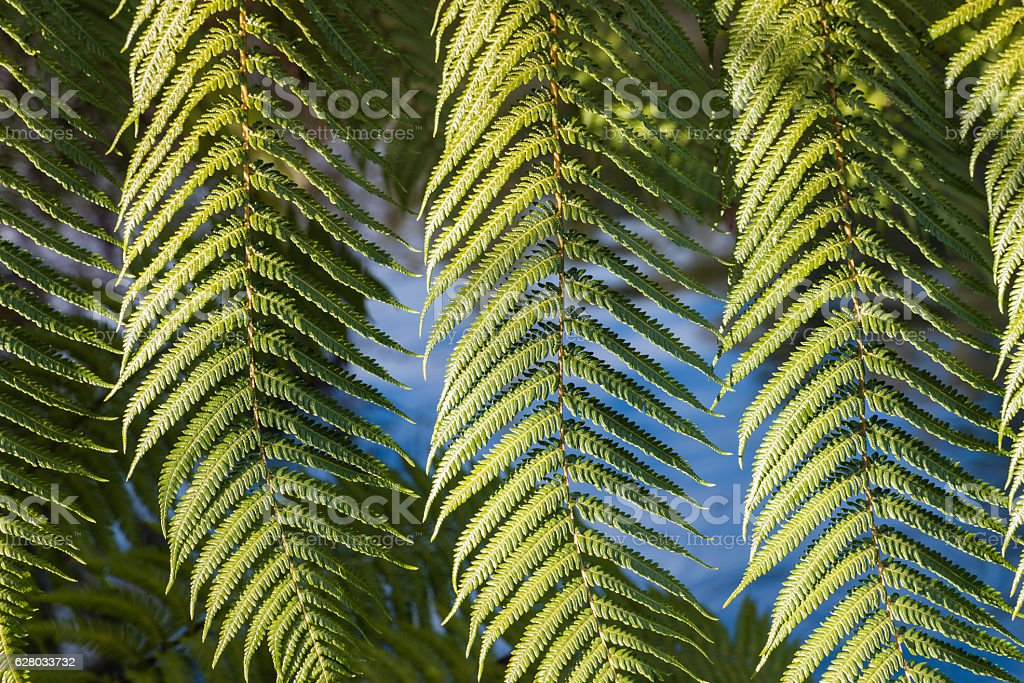 silver fern tree leaves stock photo