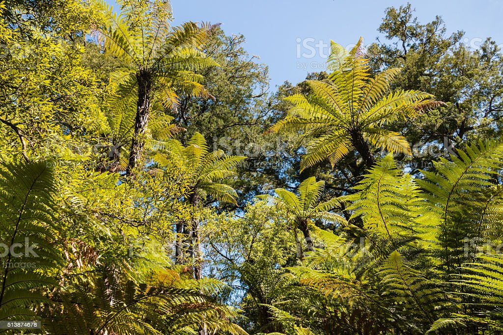 silver fern trees foliage stock photo
