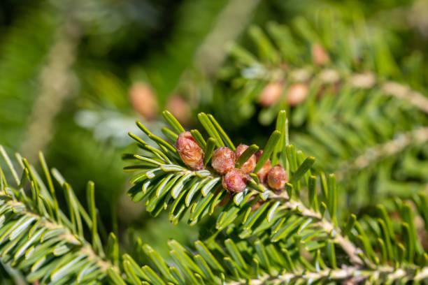 ramo abeto de prata com botões (Abies alba) closeup - foto de acervo
