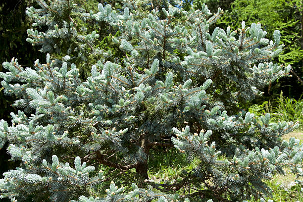 silver fir tree at spring - mountain top 個照片及圖片檔