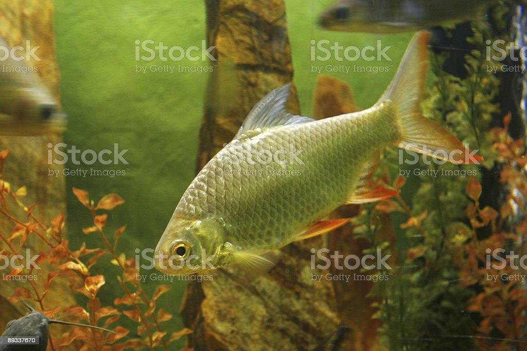 Silver fish stock photo
