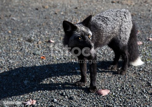 Black and white furred fox