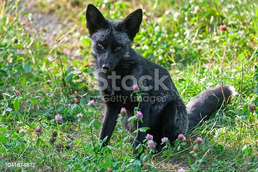Black red fox (Vulpes vulpes) called silver fox sitting on a meadow. The silver fox is a melanistic form of the red fox (Vulpes vulpes). Silver foxes display a great deal of pelt variation: some are completely black except for a white coloration on the tip of the tail, some are bluish-grey, and some may have a cinereous color on the sides.