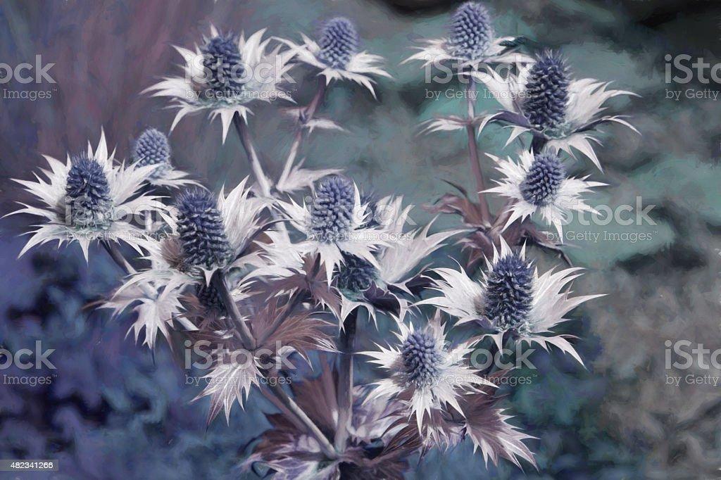 ERYNGIUM GIGANTEUM 'Silver Ghost', flowering thistles, sea holly stock photo