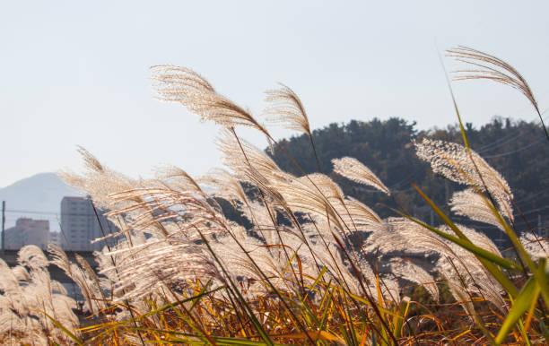 Silver grass field. stock photo