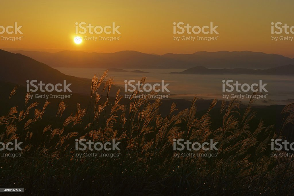 Silver grass turning gold stock photo