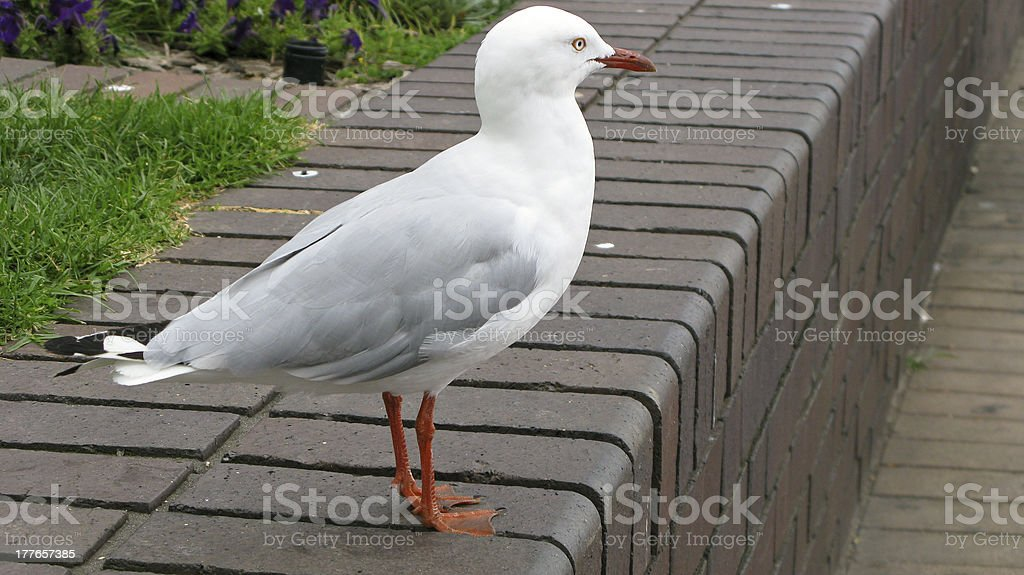 silver gull royalty-free stock photo