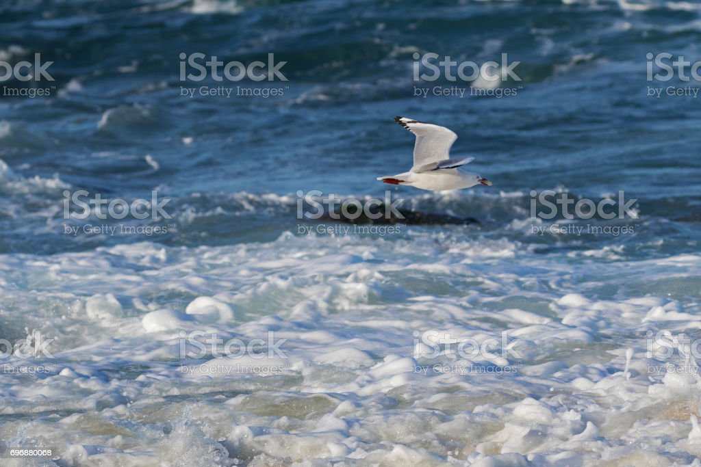 Silver Gull, Seagull seabird flying above sea water with food in its beak, Tasmania, Australia stock photo