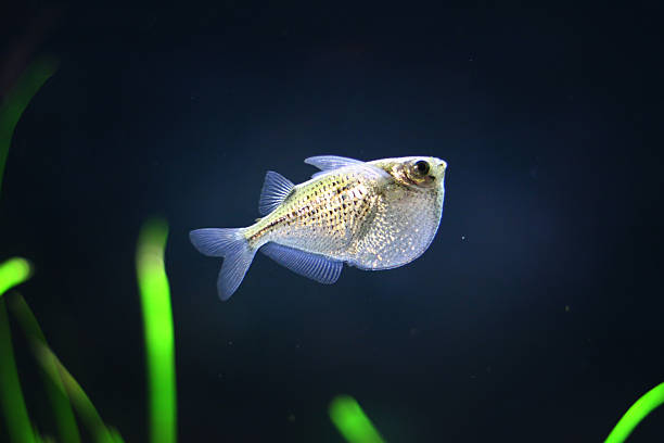 Silver Hatchetfish stock photo