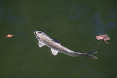 A silver koi swims in the pond just below the surface and shines in the sunlight.
