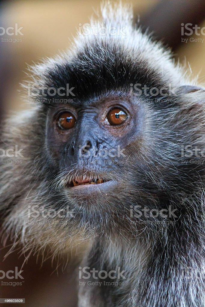 Silver Leaf Monkey in the jungle royalty-free stock photo