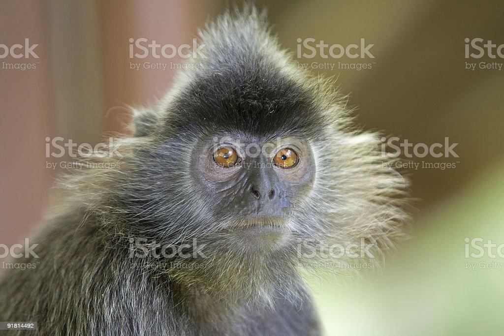 Silver leaf monkey royalty-free stock photo