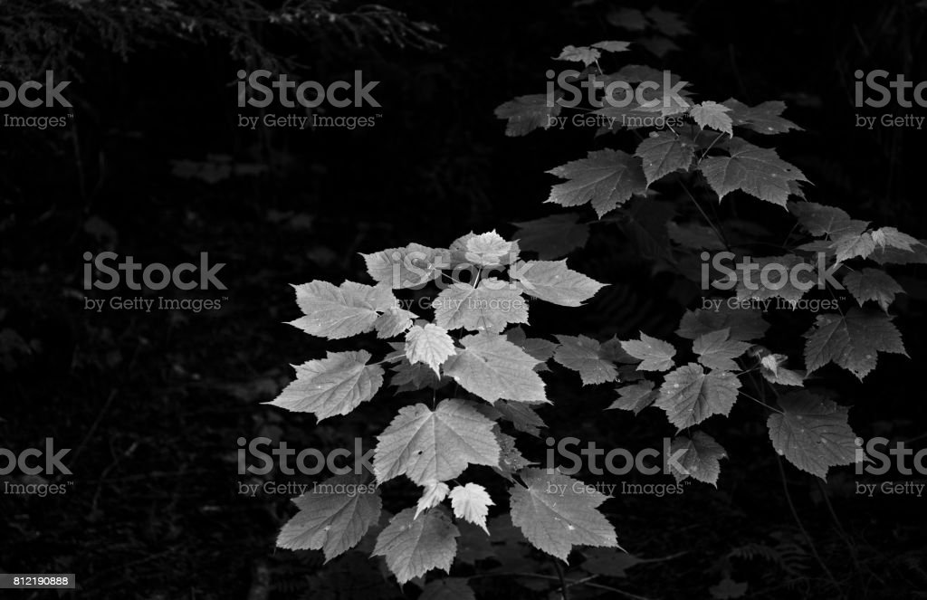 Silver leaves in a dark forest stock photo