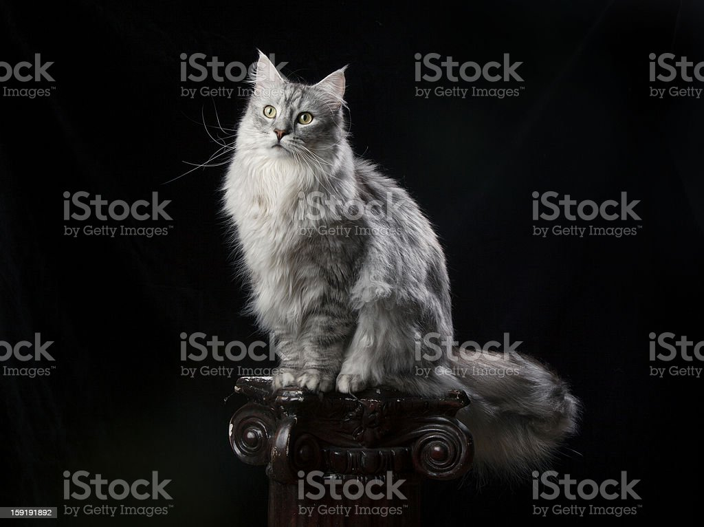 Silver Maine Coon on Black royalty-free stock photo