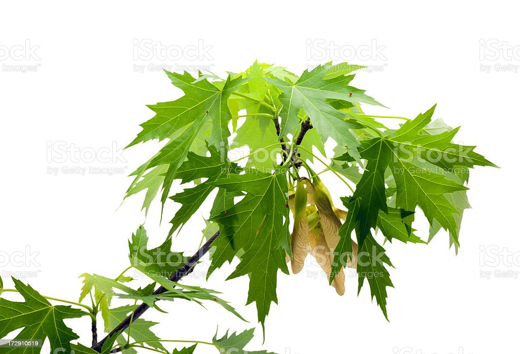 Silver Maple Tree Branch With Seeds royalty-free stock photo
